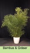 Bambusverleih