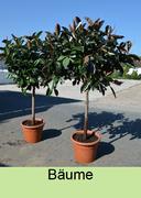 Baumverleih Olivenbäume ausleihen